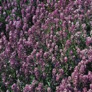 Alyssum Royal Carpet 5 grams - Bulk Discounts available